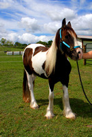 Loveway, Inc Welcomes Gypsy Vanner Horse,  Megalomanic!